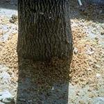 Copious amounts of coarse sawdust are produced adult beetles as they emerge from the host tree. Photo by: Dennis Souto, USDA Forest Service