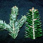 The long term results of Balsam Twig Aphid feeding on a fir. Note the damaged needles on the left and healthy unaffected nedles on the right. (Photo: R. Childs)