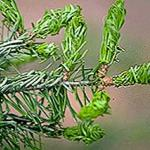 Newly injured foliage on a fir. Note the twisted needles and honeydew. (Photo: R. Childs)