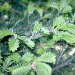 Healthy, new, unaffected foliage of a fir tree in early spring. (Photo: R. Childs)