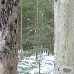 A disease-resistant American beech (right) next to a beech badly infected by beech bark disease (left)