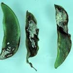 Downy Mildew caused by Phytophthora phaseoli infects broad bean, pea, and lima bean (Phaseolus lunatus). Photo: R.L. Wick