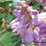 Honey bee landing on hosta flower