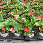 Begonias in pots - tender annual to be planted after danger of frost in warm soil.