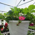 Strawberry Berries Galore Rose being grown in greenhouse for spring retail garden market