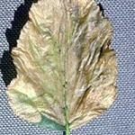 A birch leaf that has been completely mined by birch leafminer larvae. All of the foliage on a susceptible tree may appear like this by late May in New England. (Photo: R. Childs)