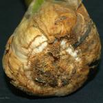 Symptoms of garlic bloat nematode infection on the exterior of a garlic bulb. Photo: B. Watts