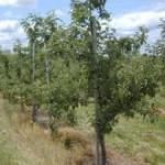 Honeycrisp planting