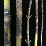 Fig. 1: Symptoms of Botryosphaeria canker can include blackened, sunken and splitting bark on infected stems and branches.