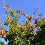 "Fig. 4: ""Flagging"" of upper canopy shoots killed by Botryosphaeria canker on a landscape crabapple (Malus hupehensis). This symptom on rosaceous hosts is often confused with damage caused by fire blight."