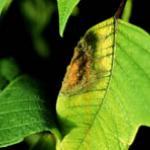 Botrytis on Poinsettia leaf, with spores