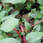 Botrytis canker on Fuchsia with spores