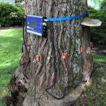 Figure 1. Artist's conk (Ganoderma applanatum) on the lower trunk of a red oak (Quercus rubra). Non-destructive testing using sonic and electrical resistance tomography revealed extensive decay was present and the tree was slated for removal.