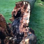 Figure 2. Serious root and butt rot of black oak (Q. velutina) caused by chicken of the wood (Laetiporus) resulted in stem failure after strong winds.