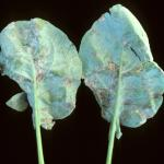 Broccoli Leaf symptoms caused by Broccoli Downy Mildew