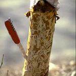 "The bark has been removed in this photograph to reveal the ""winding, tortuous mining of the bronze birch borer larvae. This tree was a River birch and believed to be resistant to this pest but it arrived from the nursery with an insufficient rootball and therfore was under great stress, of which the bronze birch bore took full advantage. (Photo: R. Childs)"