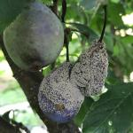Brown rot of stone fruits, caused by Monilinia, on plum (Prunus domestica)