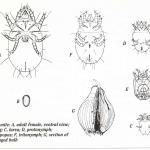 Bulb mite stages of development and feeding injury