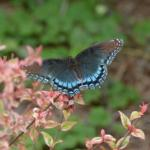 Butterflies are important pollinators