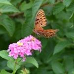 Butterflies are important pollinators