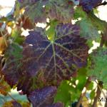 Cabernet Franc leaves showing reddening with green veins and leaf curl typical of grapevine leafroll disease.