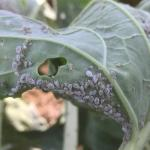 Cabbage aphids. Photo: UMass Extension Vegetable Program