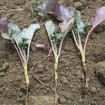 Damage to hypocotyl and roots caused by maggot feeding.