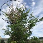 Browning leaves and upper canopy dieback of an American elm (Ulmus americana 'Princeton') due to Dutch elm disease.