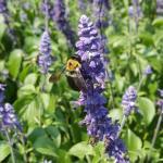 Carpenter bee. Photo: T. Simisky.