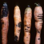 Rhizoctonia root rot on carrot. Photo: R. L. Wick