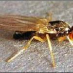 Carrot Rust fly adult