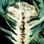 Cauliflower hollow stem