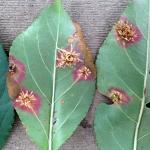 Fig. 2: Cream-colored trendrils (aceia) on the underside of infected crabapple (Malus sp.) leaves in mid-summer.