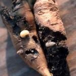 Carrot weevil larvae. Photo: W. Cranshaw, Colorado State University, Bugwood.org