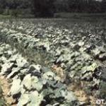 Powdery mildew field symptoms.