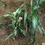 Symptoms appear at any stage of plant growth. Seedling wilt occurs at or before the 5-leaf stage