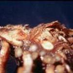 Fusarium root rot of Asparagus
