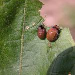 Colorado potato beetle larvae in the final instar. Photo: J. Boucher