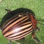 Adult Colorado potato beetle. Photo: R. Hazzard