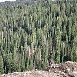 A natural stand of conifers in Utah displaying some dead trees that were killed by bark beetles. (Photo: R. Childs)