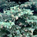 A blue spruce displaying numerous galls caused by the Cooley spruce gall adelgid. When this many galls are seen, there's a very good chance that a Douglas fir is within close proximity. (Photo: R. Childs)