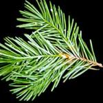 The Cooley spruce gall adelgid and how it can appear on a Douglas fir. (Photo: R. Childs)