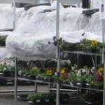 Pansies in retail covered at night for protection