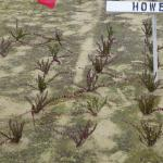 Cranberry cuttings in the ground on square-foot spacing