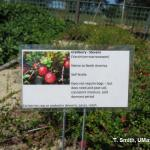 Cranberries for home gardens at The Gardens at Elm Bank