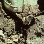 Cabbage root maggot larvae in soil.