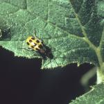 Spotted Cucumber Beetle, Diabrotica undecimpunctata howardi