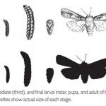 Cutworm Life Stages
