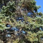 Branch dieback caused by Cytospora canker in the canopy of a blue spruce (Picea pungens)