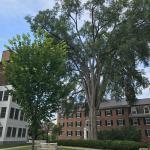 Fig. 4. A disease resistant American elm cultivar (Ulmus americana 'Princeton') with a towering survivor American elm
